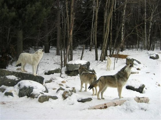 Image: Gray wolves