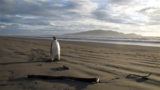 Image: An Emperor penguin on Peka Peka beach, New Zealand