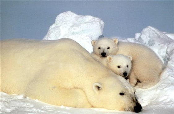 Image: A sow polar bear rests with her cubs