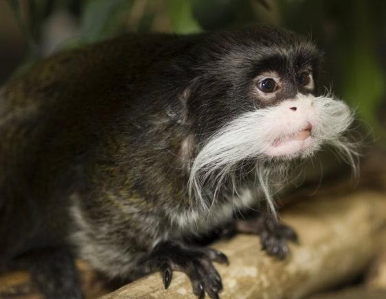 Image: Rollie, an Emperor Tamarin monkey