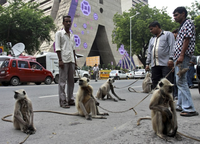 Image: Langurs in New Delhi, India