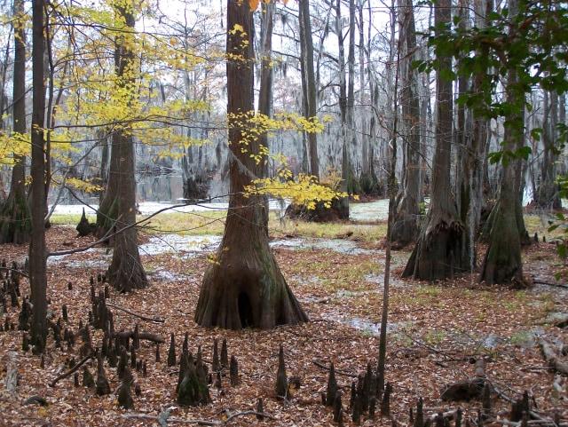 Image: Cypress Swamp