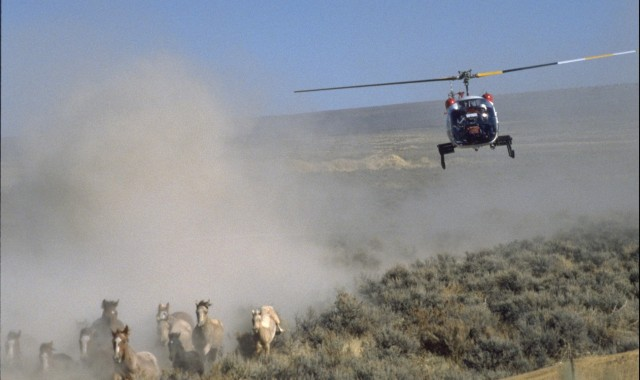 Image: Helicopter rounds up wild horses