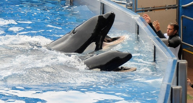 Image: Killer whale Tilikum at performance