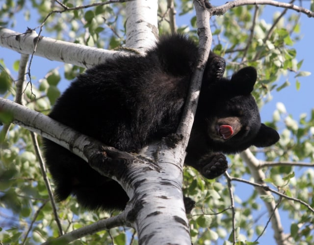 Image: A yearling black bear cub sticks out its tongue and sniffs the air as it hides up in a tree.