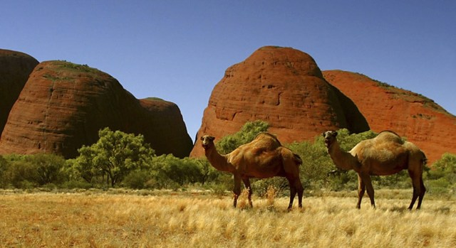 Image: Wild camels in Australia