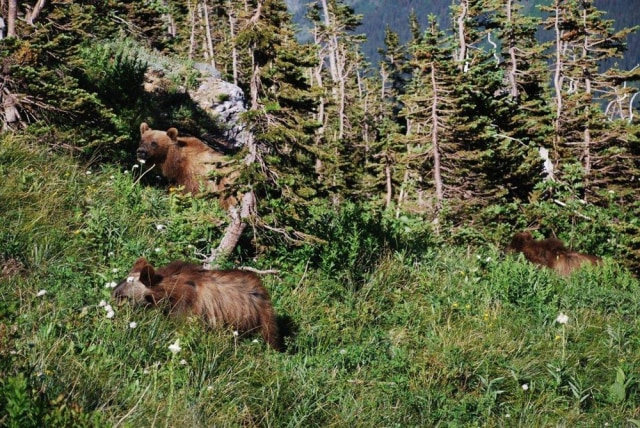 Image: Grizzly bears in Montana