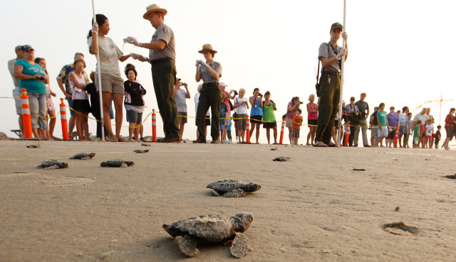 Image: Some of the 44 Kemp's ridley hatchling make there way past spectators as they head to the waters of the Gulf of Mexico during an early morning release at the Padre Island National seashore near Padre Island, Texas