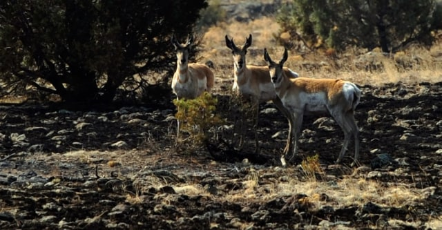 Image: Antelope at Wallow fire