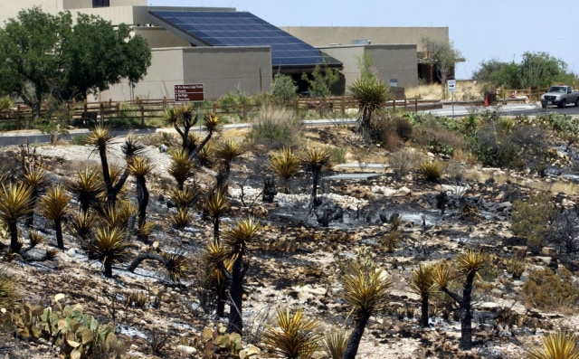 Image: Charred cactus plants at Carlsbad park