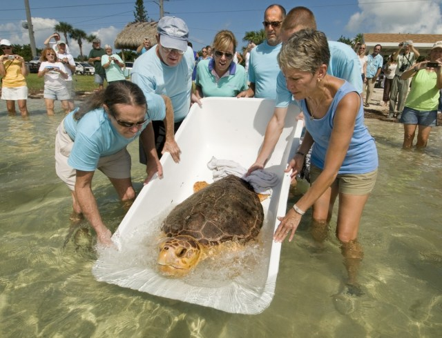 Image: Loggerhead released back to sea