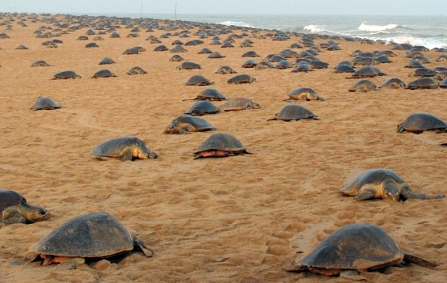 Image: Olive ridley turtles on beach