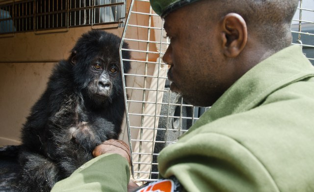Image: Rescued baby gorilla