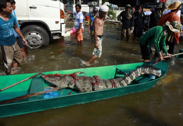 Image: Dead crocodile is put in boat in Nonthaburi province,Thailand