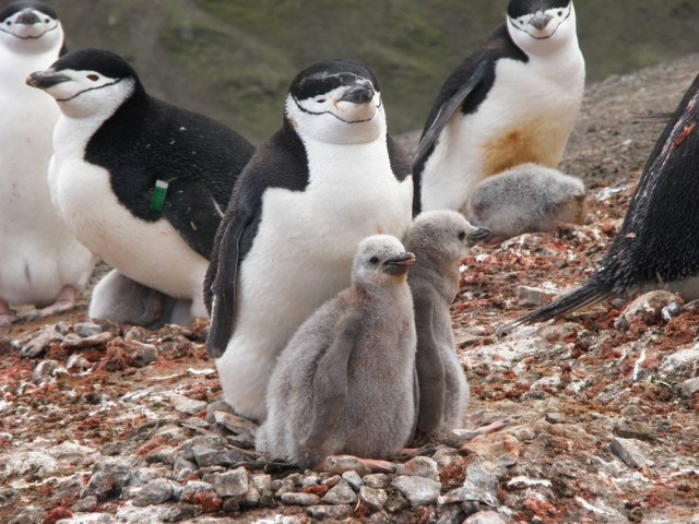 Image: Chinstrap penguins