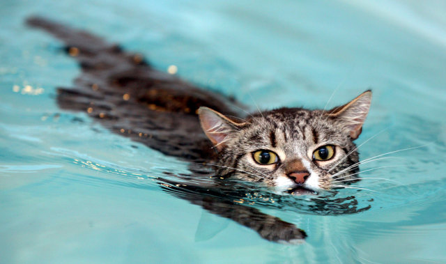 Image: Mog the cat swims around Hawksland hydrotherapy pool