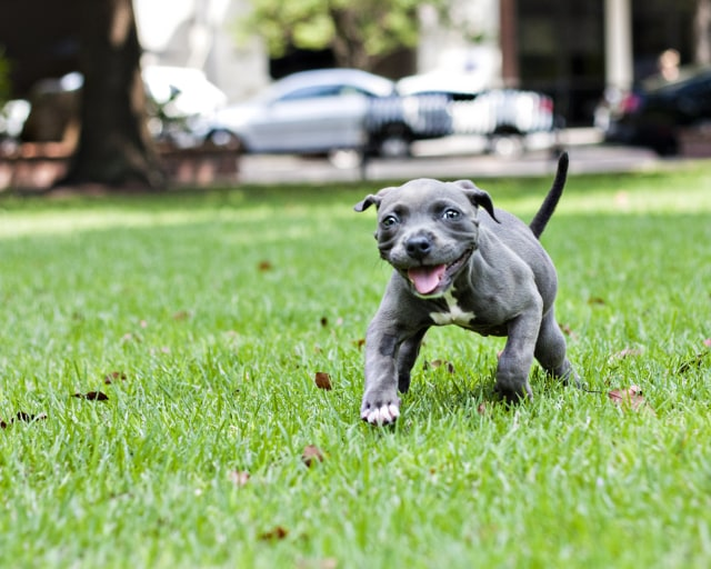 Image: Harper the puppy walking in grass