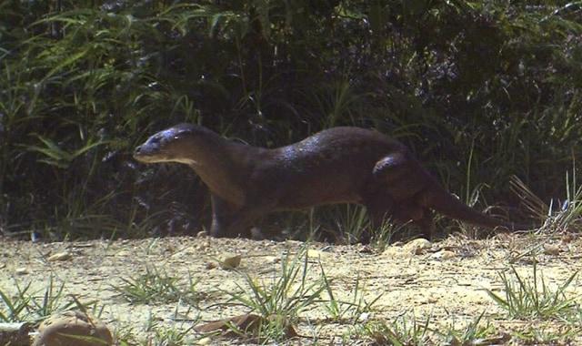 Image: Otter