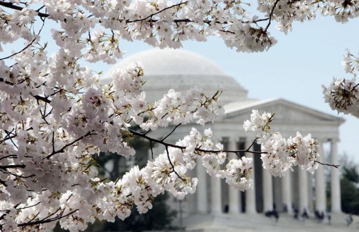 Но первым признаком Весны конечно становятся прекрасные вишневые деревья, распустившиеся во многих городах.