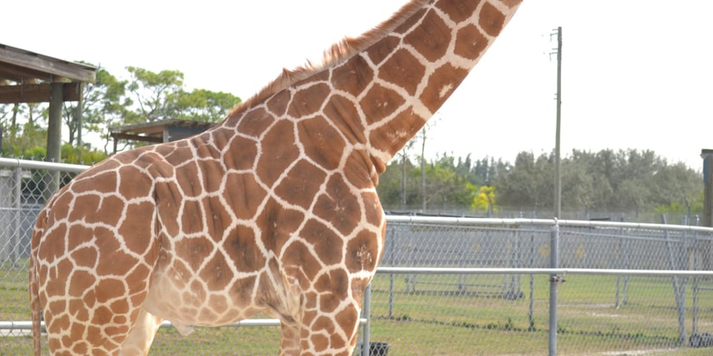"Two giraffes killed by ""billion-to-one"" lightning strikes at Florida wildlife park"
