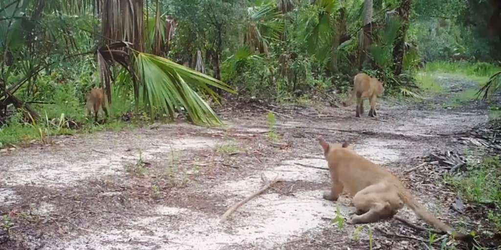 Florida panthers and bobcats are walking weird. Wildlife officials can't figure out why.