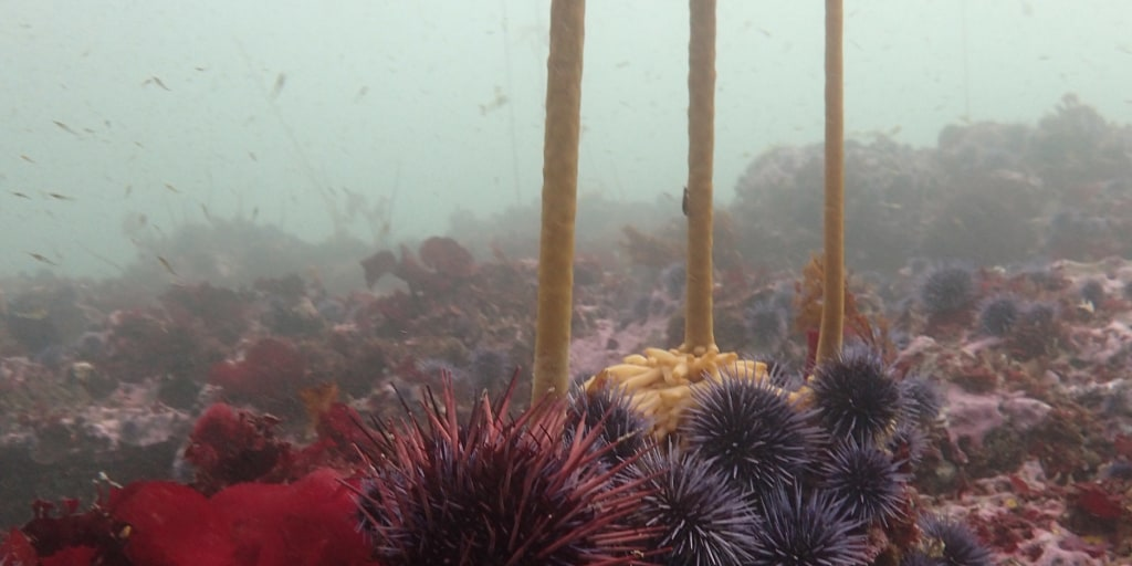sea urchin eating corals betting