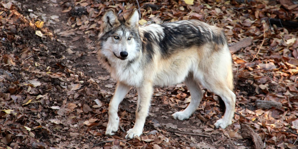 Mexican gray wolves are endangered. A New Mexico zoo is trying to help save them.