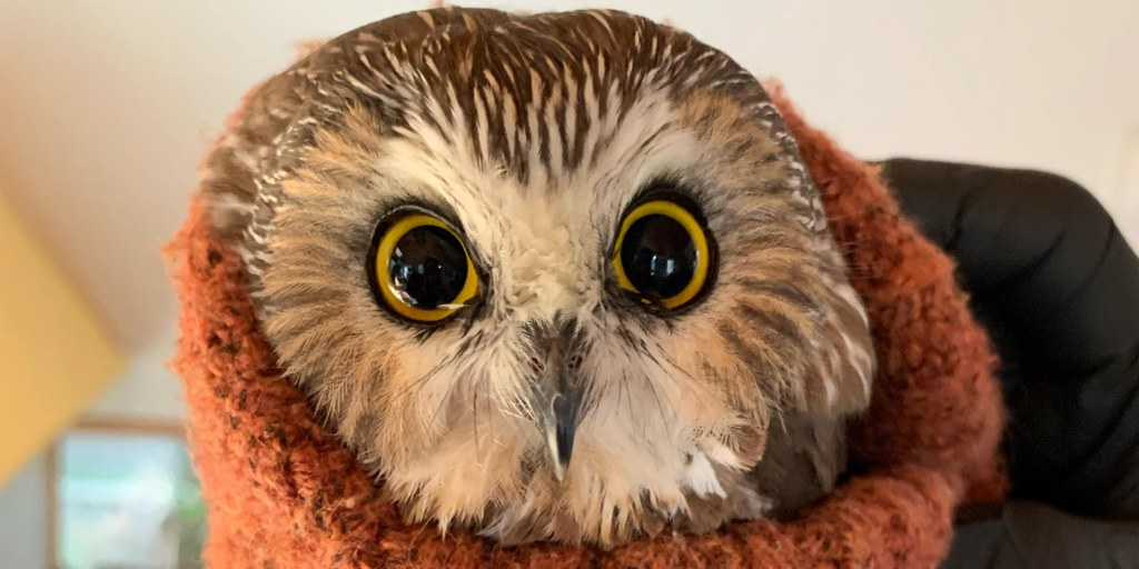 Rocky The Tiny Owl That Was Rescued From The Rockefeller Center Christmas Tree Takes Flight
