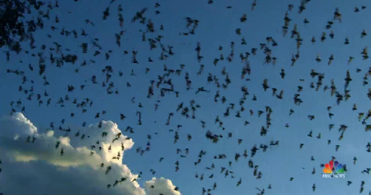 Bat enthusiasts captivated as millions take flight in Texas