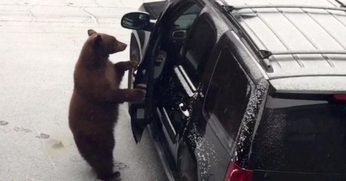 Ängstlich Familie Uhren Anstrengungen zur freien Bär kletterte in SUV