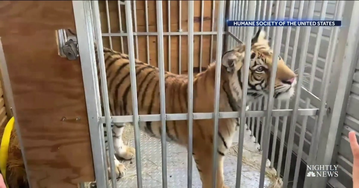 Missing tiger in Texas found