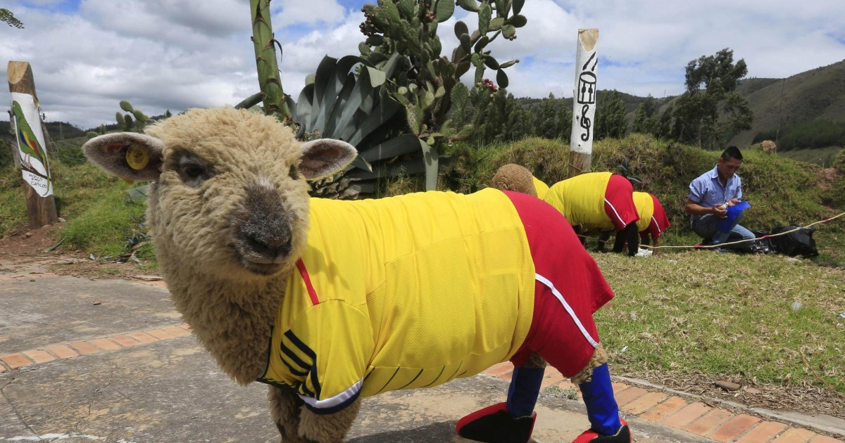 Sheep Show Their Colors Ahead of Soccer World Cup