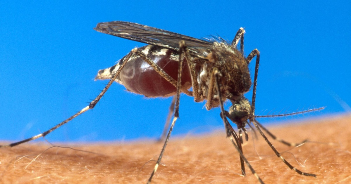 Painful Chikungunya Virus Can be Worse Than Feared, Study Shows