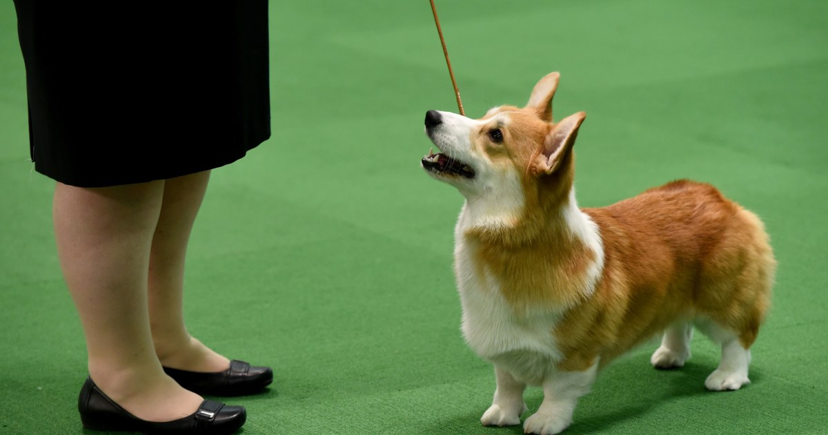 Cnbc Westminster Dog Show
