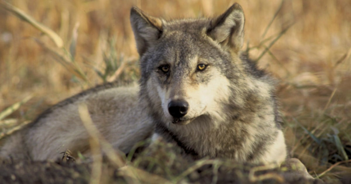 washington to kill 11 of state u0026 39 s 90 endangered gray wolves