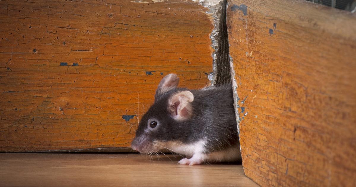 11 tips mengusir tikus dari rumah