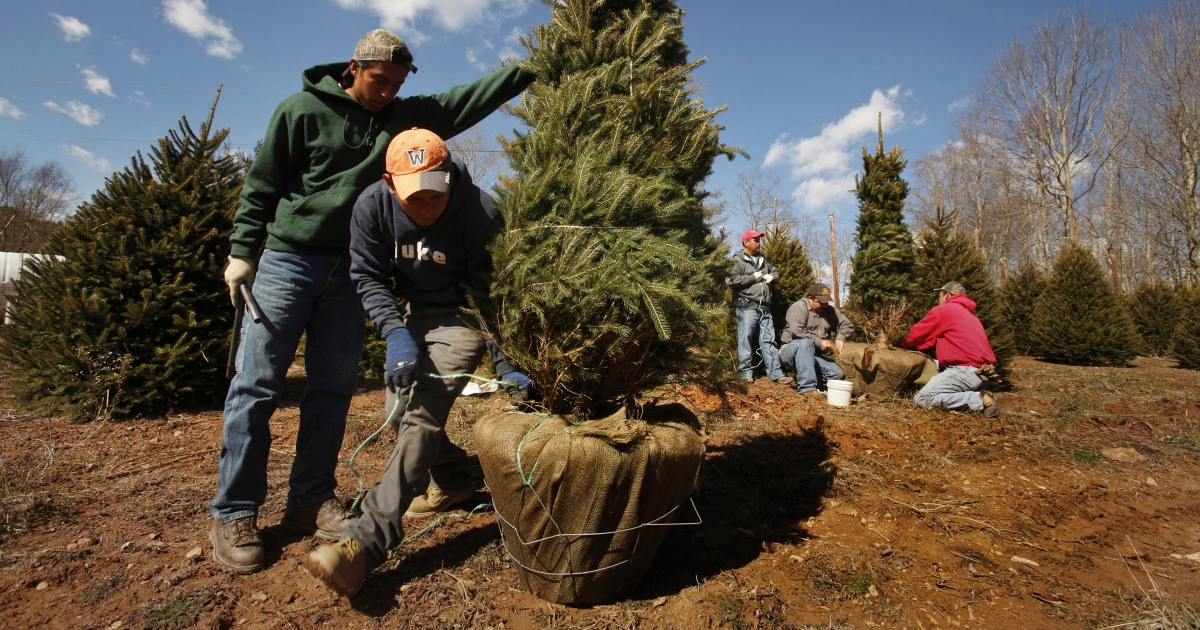 2020 Mn Christmas Tree Harvesting MAP: Here's where Christmas trees in the U.S. grow