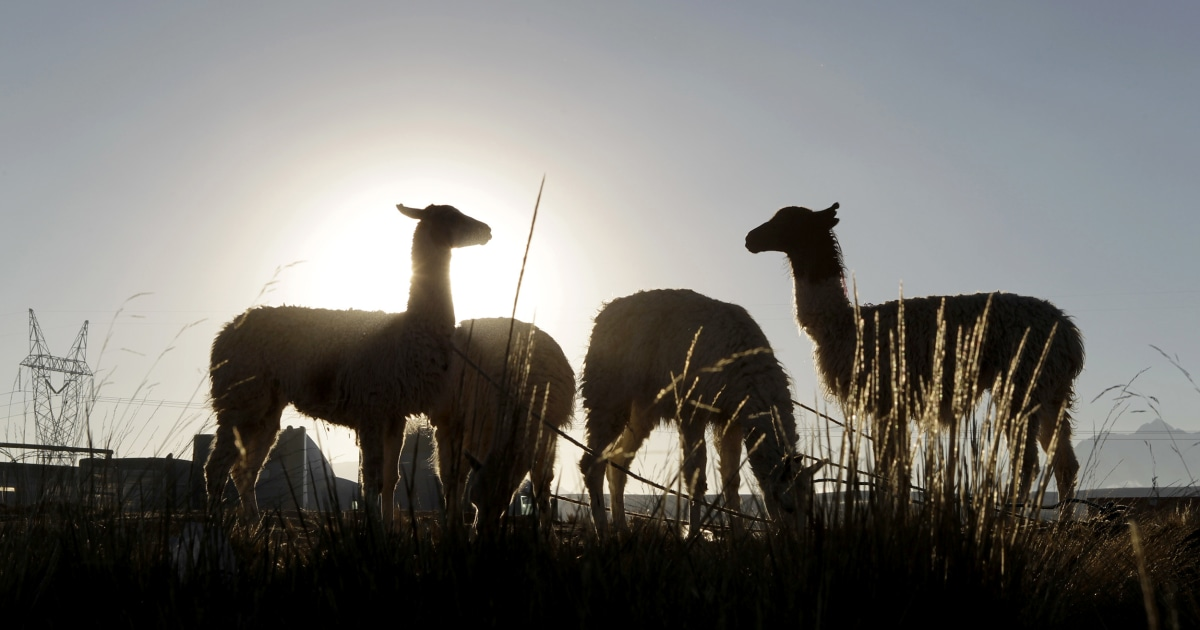 At least 20 llamas missing from California exotic animal farm after burglary