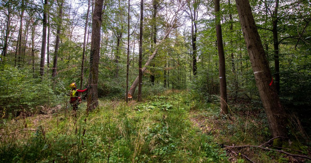 Wälder von deutschen Mythos unter körperlichen Angriff von Trockenheit und Hitze