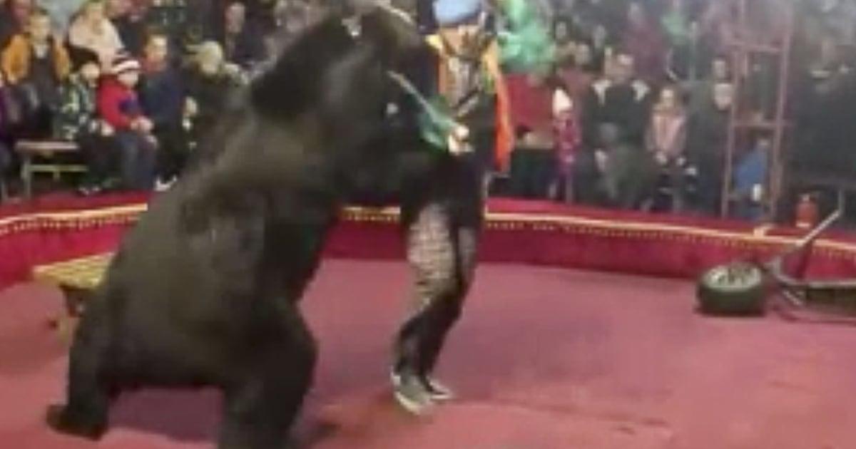 'Panik' erfolgt auf Russischen Zirkus nach Bär Angriffe trainer
