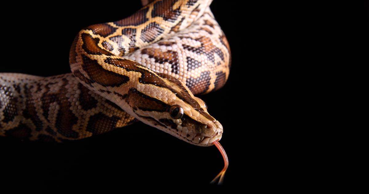 Indiana Frau gefunden, tot, mit 8-Fuß-python um den Hals