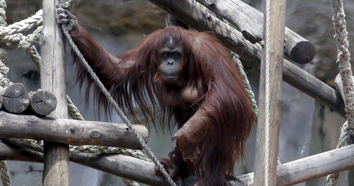 Orangutan diberikan 'kepribadian'. Sekarang ia memiliki rumah baru di Florida.