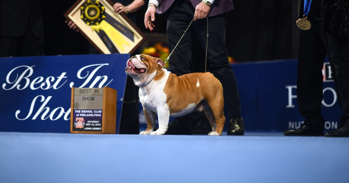 Purina National Dog Show 2020.Thor The Bulldog Wins National Dog Show Drops Hammer On