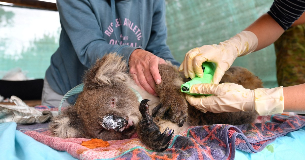 Video Shows Koalas Other Animals Hurt In Australia S Fires Getting Treated