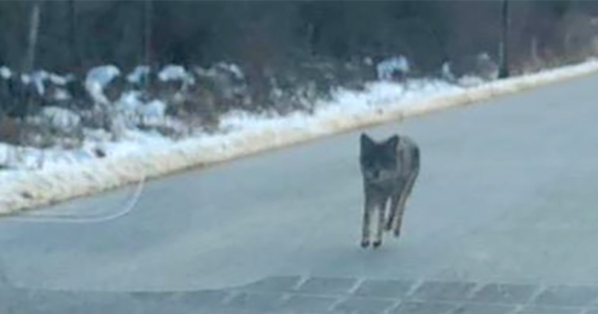 Father chokes coyote to death after series of attacks in New Hampshire