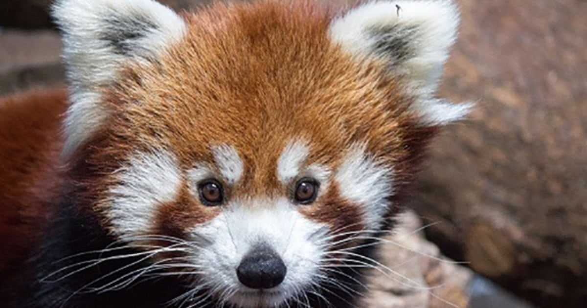 パーカーは、絶滅危惧レッサーパンダでバーミンガム動物園、死亡時年齢4