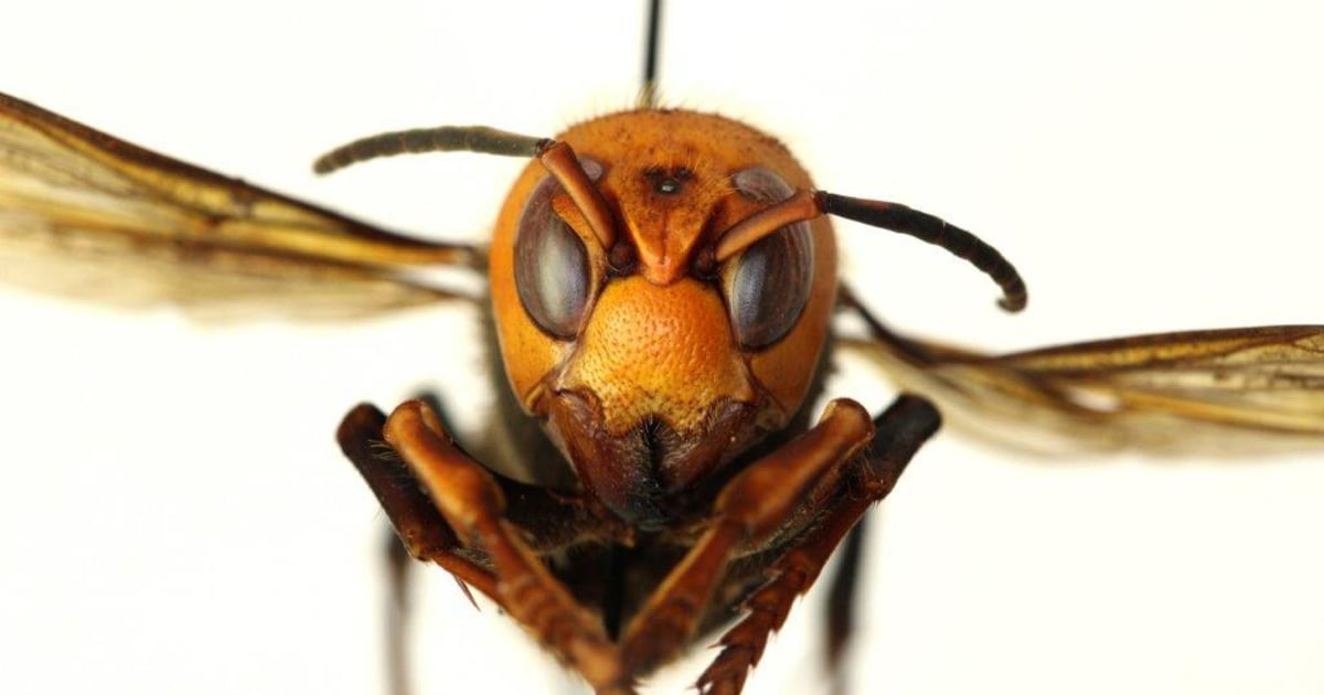 Asian giant hornet invasion becomes latest 2020 concern thumbnail