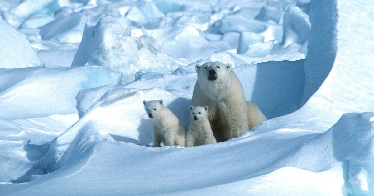 Polar bears could disappear by 2100 due to melting ice, climate change, study says