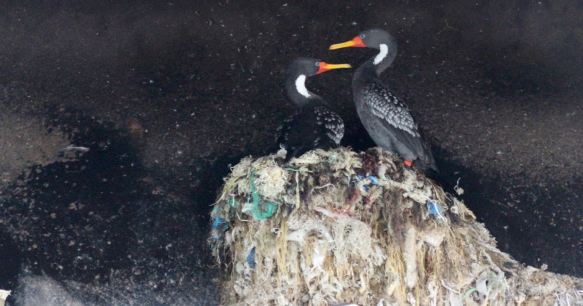 On the coast of Chile, bird nests show the scars of plastic pollution