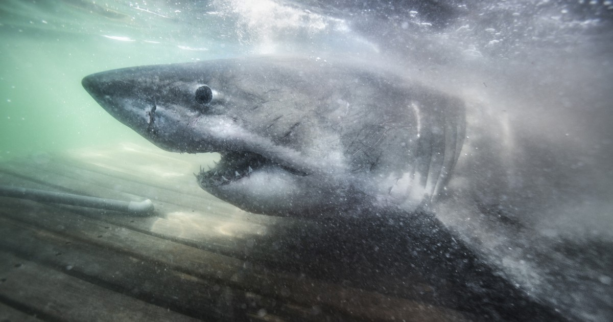 Researchers find 'Queen of the Ocean' ancient great white shark off Nova Scotia coast